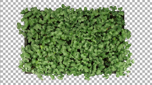 Thumbnail for Time-lapse of germinating microgreen rocket seeds with ALPHA channel, top view