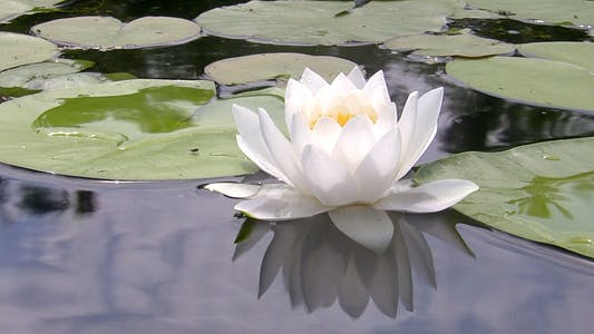 Thumbnail for White Water Lily 1