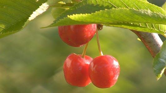 Thumbnail for Ripe Berries Of Sweet Cherry 1