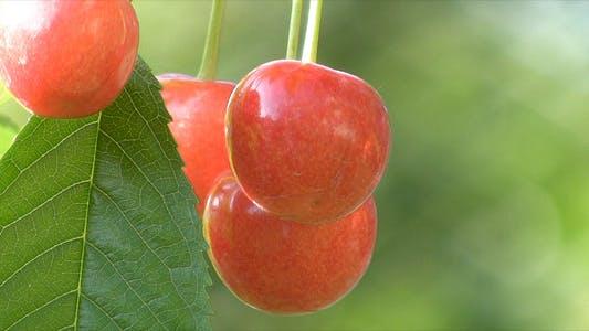 Thumbnail for Ripe Berries Of Sweet Cherry 2