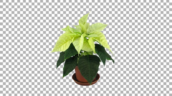 Time-lapse of dying yellow poinsettia Christmas flower with ALPHA channel