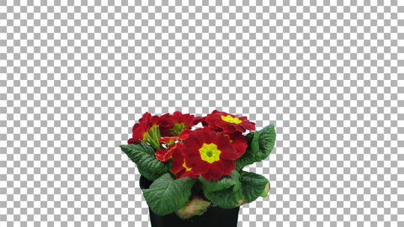 Thumbnail for Time-lapse of opening red Primula flower with ALPHA channel