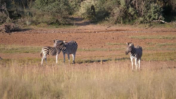 Thumbnail for Mother and baby zebra at the savanna