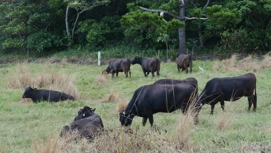 Thumbnail for Cow farm in ishigaki