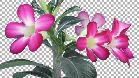 Time-lapse of opening Adenium flower with ALPHA channel