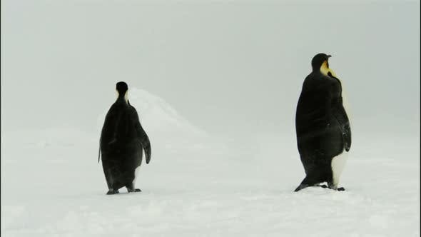 Thumbnail for Emperor penguins in snow