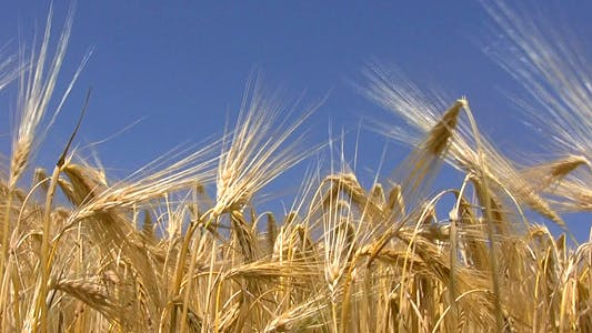 Thumbnail for Wheat Crop