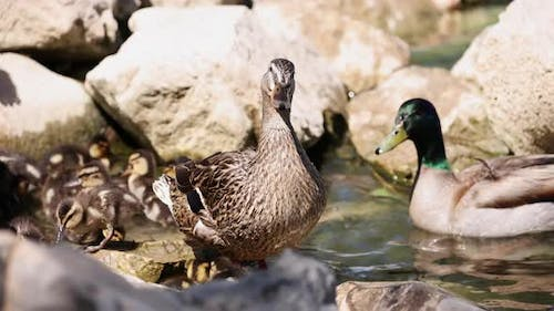 Family of Mallard Ducks at the edge of a pond in the rocks