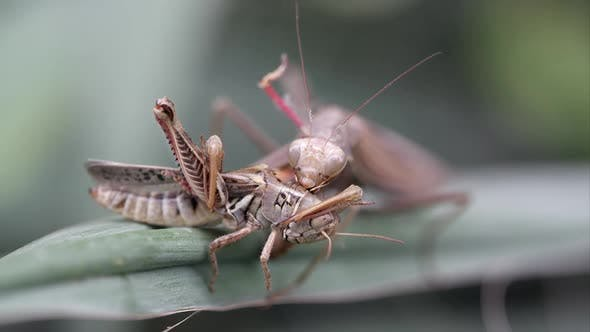 Thumbnail for Praying mantis eating a grasshopper