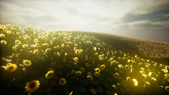 Thumbnail for Sunflower Field and Cloudy Sky