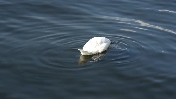 Thumbnail for Swan eating from the bottum of the lake in Stockholm