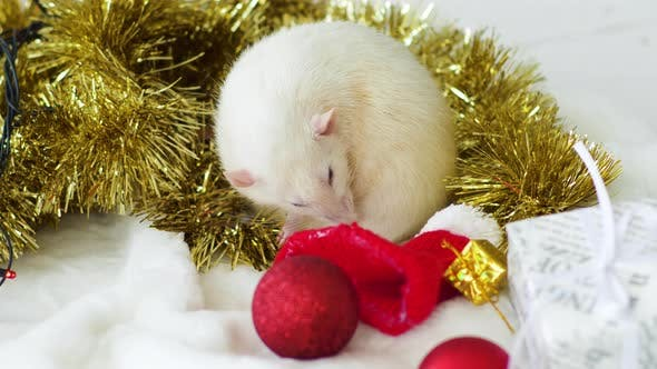Thumbnail for White Rat Washes Near Christmas Garland and Toys