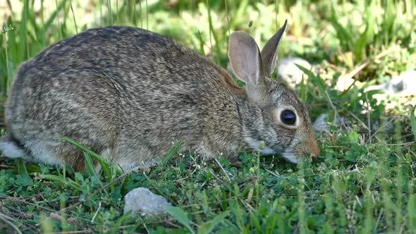 Thumbnail for New York - Central Park - Hare on Grass