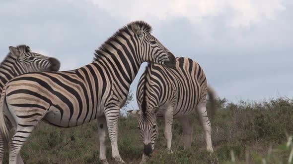 Thumbnail for Herd of Zebras Grazing on The Savanna