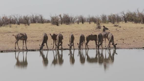 herd of Kudu drinking from waterhole