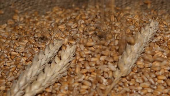 Thumbnail for Wheat Pouring on Top of the Grain Pile with Wheat Sheaf on the Wood Background