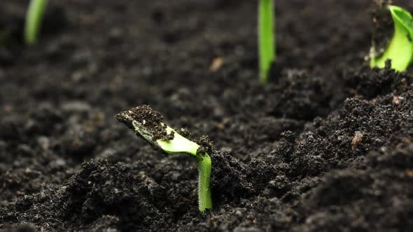 Thumbnail for Plant Growing in Timelapse, Sprouts Germination, Green Pumpkin Seeds, Spring and Summer Agriculture