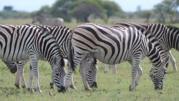 Thumbnail for Herd of Zebra grazing at Nxai Pan in Botswana