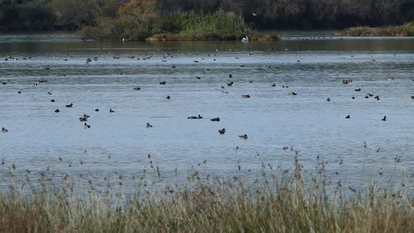 Thumbnail for Ducks in a lake at Amvrakikos National Park