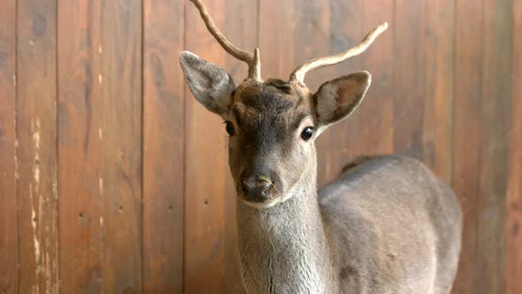 Young Deer at Breeding Farm