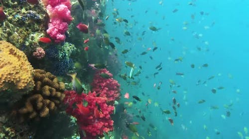 Underwater View Of Colorful Coral Garden With Tropical Fish In Kri Island, Raja Ampat