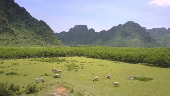 Thumbnail for Herd of Water Buffaloes Grazes on Green Meadow Aerial View