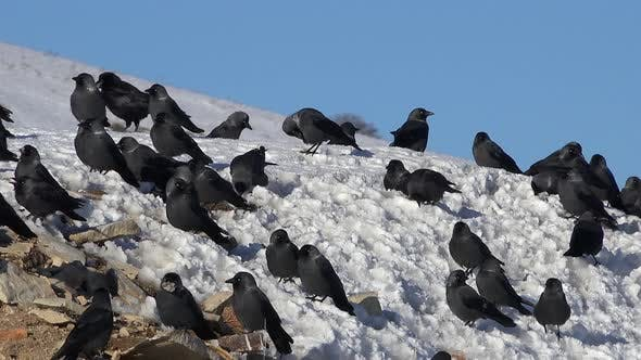 Thumbnail for Crowded Flock of Crows on Snow