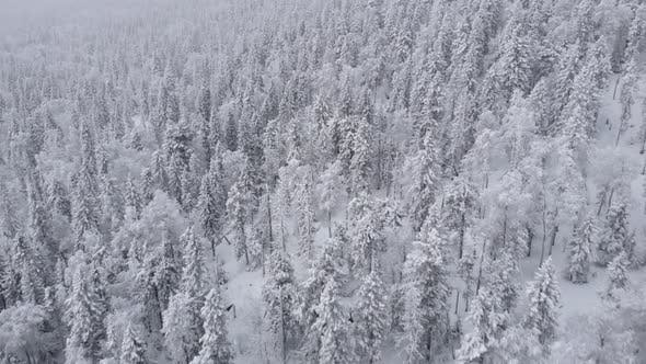 Aerial of Picturesque Frozen Forest with Snow Covered Spruce and Pine Trees