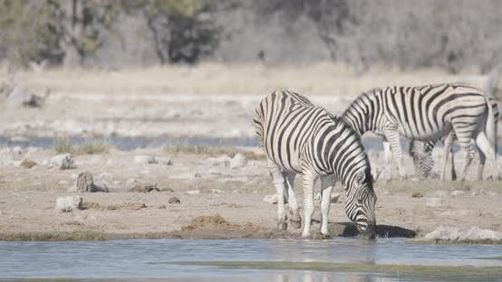 Thumbnail for Zebras Drinking and Eating