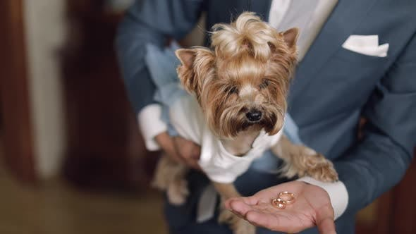 Thumbnail for Dog Terrier in Funny Dress Sit on the Man's Hands