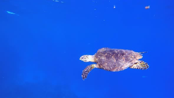 Thumbnail for Turtle Swimming in Blue Sea