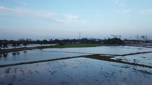 Flock of Asian openbill fly in dawn