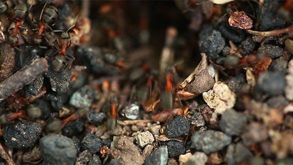 Thumbnail for Ants Nest Macro