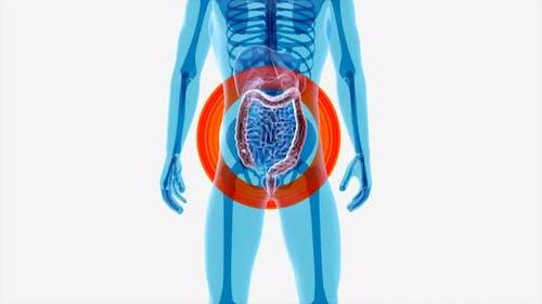 4K anatomy concept of the intestine