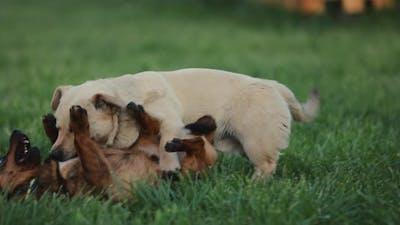 Playful Dogs Battle Slow Motion