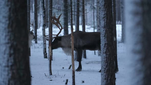 Two Noble Deer Standing and Relaxing in a Frosty Spruce Forest in Snowy Finland