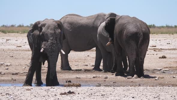 Elephant splashes himself with mud