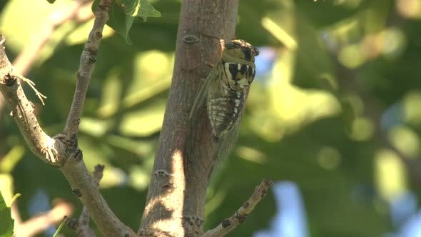 Thumbnail for Bush Cicada Adult Lone Calling Singing Song in Summer in South Dakota