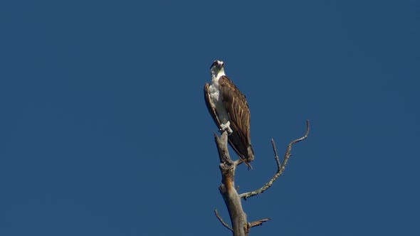 Osprey Adult Lone Perched in Spring in South Dakota United States
