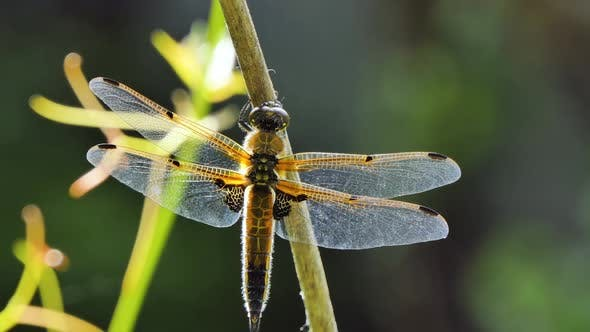 Dragonfly Sits on a Branch, Wild Beetle in Nature, Summer Spring Colorful Macro Wildlife