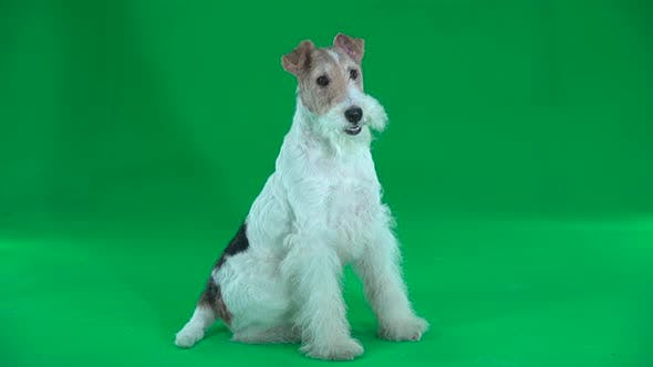 Thumbnail for Sitting Fox Terrier. Green Screen