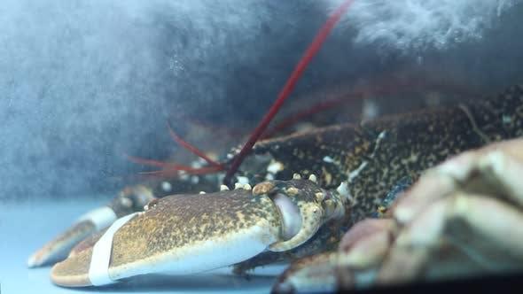 Thumbnail for Big Lobster In Aquarium