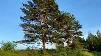 Pine trees against the blue sky