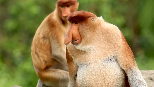 Thumbnail for Shocked looking Proboscis Monkey in Sabah, Malaysian Borneo