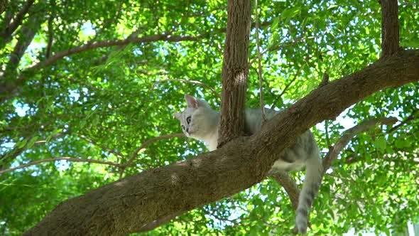Cute Scottish Kitten Climbing On A Tree