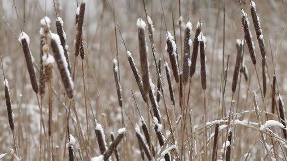 Thumbnail for Shore Cattail In Falling Snow IV