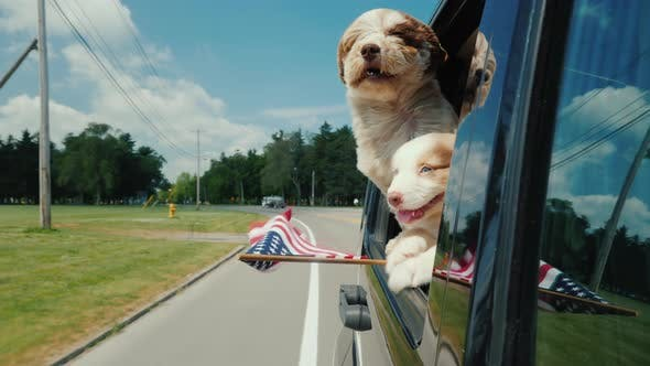 Thumbnail for A Pair of Funny Dogs with the Flag of the United States Look Out the Window of a Moving Car