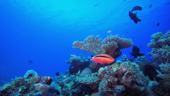 Thumbnail for Tropical Coral Garden Marine Life