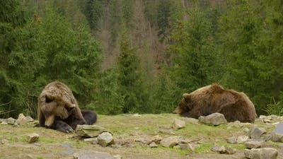 Bears Rest in the Wild