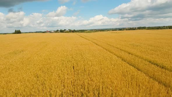 Thumbnail for Aerial View of Golden Wheat field. Aerial Video